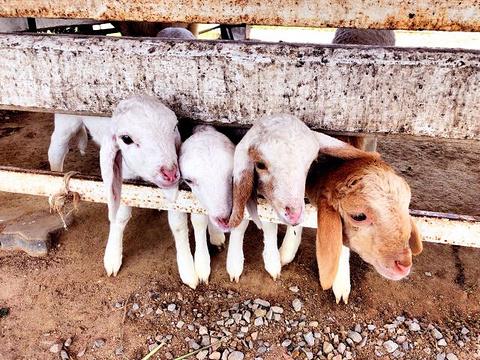 华欣瑞士绵羊牧场旅游景点图片